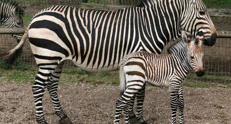 Hartmann's Mountain Zebra Wakanda, who was born at Blackpool Zoo on September 5.