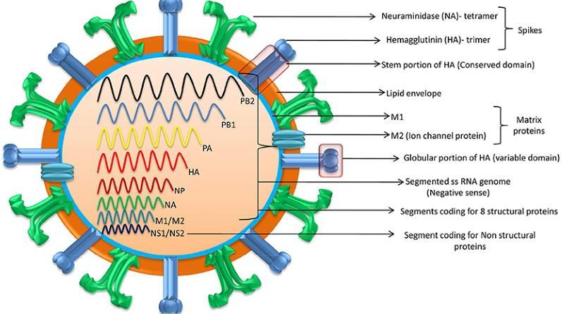 The structure of the equine influenza virus. EIV is a segmented RNA virus possessing eight (single) segmented negative sense RNA strands. Segmented genome encodes eight structural proteins and at least two non-structural proteins. Image: Singh et al. https://doi.org/10.3389/fmicb.2018.01941