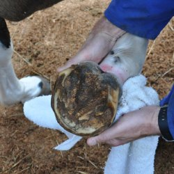 No velagliflozin-treated pony developed laminitis in the study. [File image]