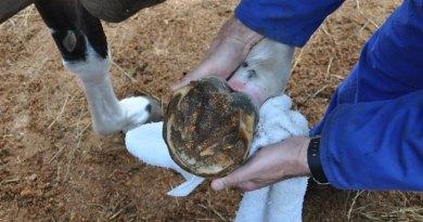 Drug shows promise in preventing laminitis in at-risk ponies