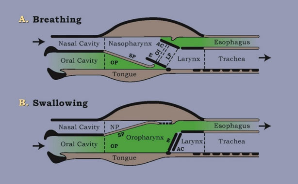 The soft palate ('SP' in diagram) works like a railroad switch plate or'points' but more ingeniouslyas it provides for different directions of flow and different functions;'Down' for breathing and 'Up' for swallowing.Track A for regular breathing is the 'through' track, 'mainline,'default position. Track B for swallowing is the divergent line, for drinking, for gulping down dry food (hay) and, crucially, for preparing to run.For the purpose of illustration, an air space (green) is shown in diagram A but there should not be any air in a horse's mouth during 'gale-force' breathing.The soft palate should be held tight to the root of the tongue by the suction forcesin the mouth, generated by one vital swallow immediately prior to running. At liberty, horses evacuate air from the mouth as a necessary preliminary to running. Diagram B shows the normal 'dorsal displacement of the soft palate'that occurs transiently during a swallow. When running, even partial dorsal displacement (caused by the bit) suffocates.