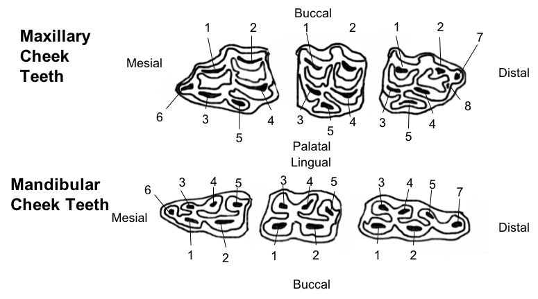 The pulp numbering system as shown in BEVA's dental guide for veterinarians.