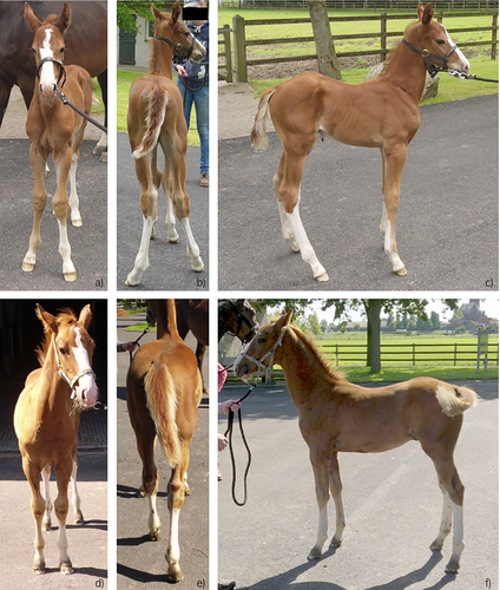 Different views of one of the foals used in the study, shown at one week of age in the top row, and 12 weeks of age in the bottom row. Photo: Gorissen et al. https://doi.org/10.1111/evj.12961