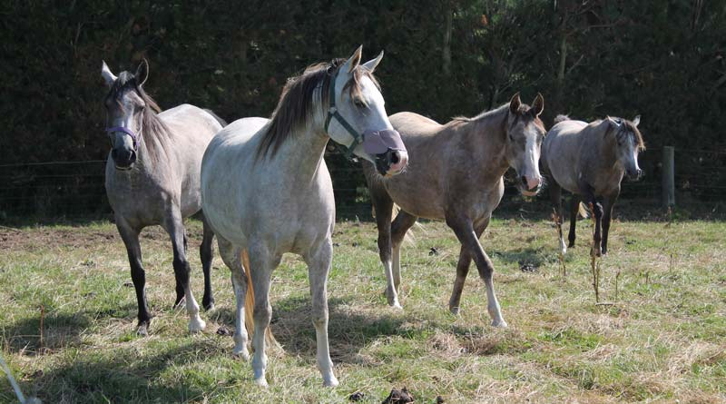 Horses take emotional lead from humans in uncertain situations, findings suggest