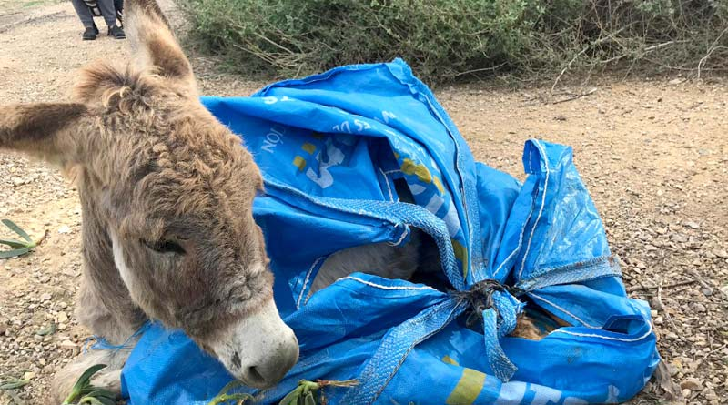 The young donkey as he was found by the Segura river.