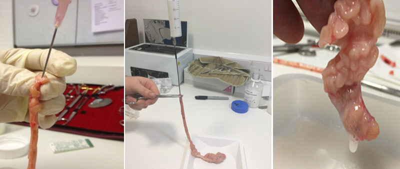 From left: Cannulation in preparation for semen extraction; Stage 2 of semen extraction; and semen being flushed from the epididymis.