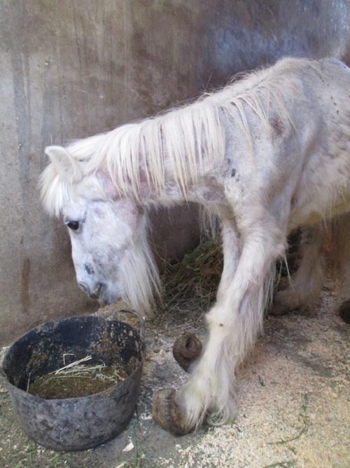 Annie had the worst case of overgrown hooves that the Easy Horse Care Rescue had seen.