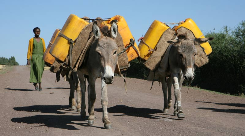 Working donkeys in Ethiopia.