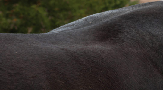 Photo shows muscle atrophy at the loin area – paradoxically caused by an incorrectly fitted gullet plate, which seated the rider too far back and creating excessive pressure in this area.
