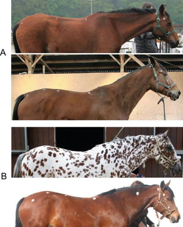 """Photographs of two types of riding school horses. Those marked A show riding school horses presenting characteristic elements of posture associated with poor welfare. They expressed stereotypic or abnormal repetitive behaviours and show a """"depressed-like"""" posture too. The images marked B are of riding school horses which showed no such behaviors, and did not have characteristic elements of posture associated with poor welfare. Images: Sénèque et al, https://doi.org/10.1371/journal.pone.0211852"""