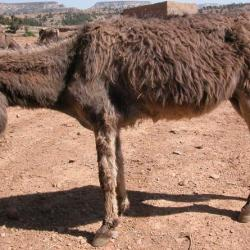 An African donkey showing signs of dullness and inappetence. © The Donkey Sanctuary