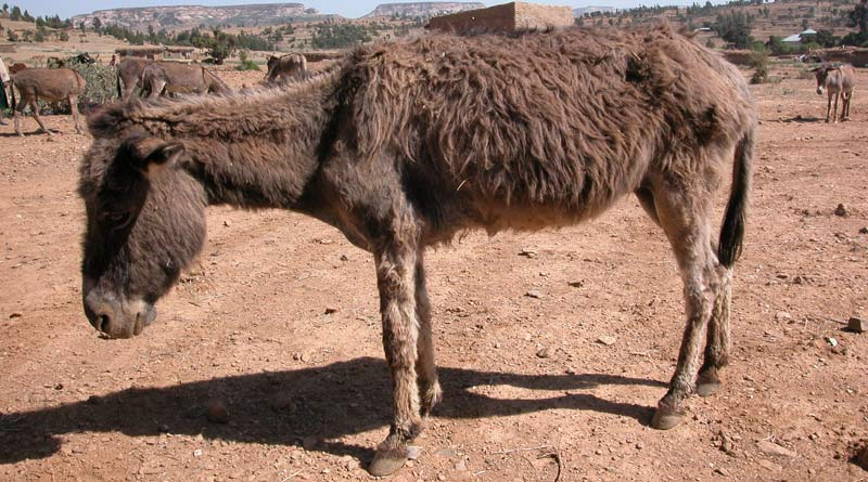 An African donkey showing signs of dullness and inappetence.