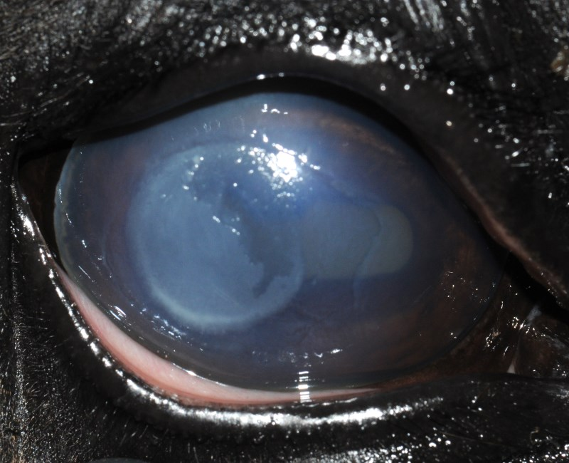 Stromal keratitis in a 6-month-old Holsteiner horse where Fusarium falciforme was isolated. Photo: Cullen et al. https://doi.org/10.1371/journal.pone.0214214