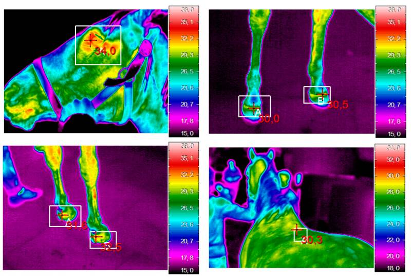 Examples of an infrared image in the examined regions. The cross indicates the position of the maximum temperature within the examined areas used for analysis. Image: Redaelli et al. https://dx.doi.org/10.3390/ani9030084
