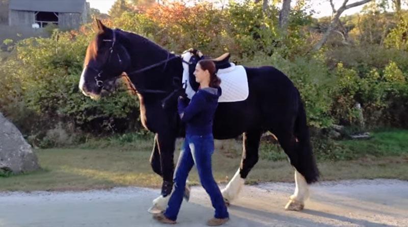 "American Drum horse Bridget Jones aka ""BJ"", working in hand following Science in Motion's in-hand course."