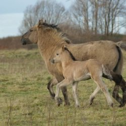Trotting wild Konik horses. The evolution of the single-toed horse foot may have been driven by the use of the medium-speed trot gait (used for endurance), rather than by the high-speed gallop. Photo: Roy van Wijk CC BY 2.0 via Wikimedia Commons