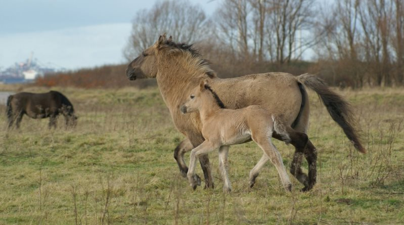 toed Equus caballus pes may convey been driven past times the piece of job of the medium Evolution of the horse's pes is to a greater extent than close endurance than speed, order researchers