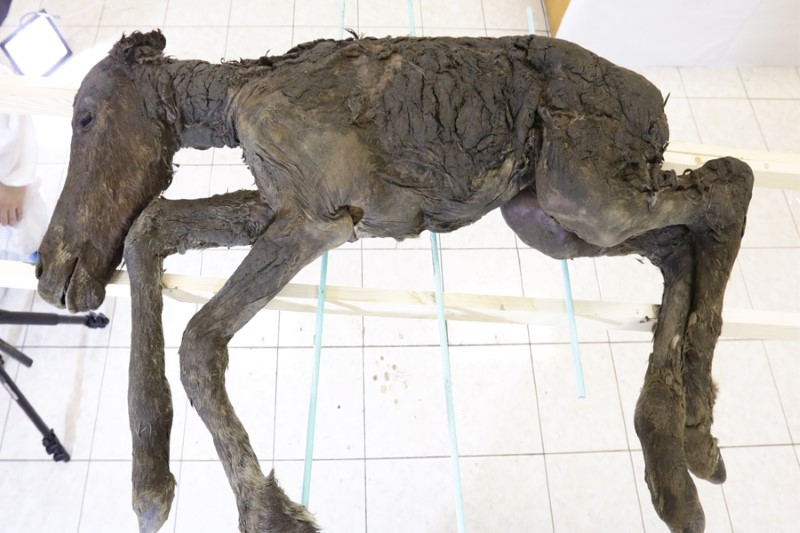 The foal found in Siberian permafrost is remarkably preserved. Photo: North-Eastern Federal University in Yakutia