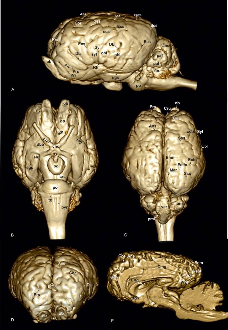 A 3D model of the equine brain based on MRIs. Imaging: Schmidt et al. https://doi.org/10.1371/journal.pone.0213814