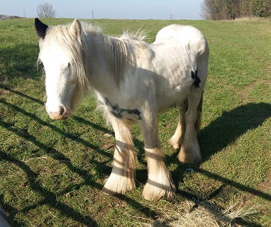 Quartz was found roaming in a field near Pontefract. He was scouring and was found to have asevere worm infestation and high temperature.