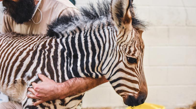 Abby and Zack's new Hartmann's mountain zebra filly foal was born on May 13.