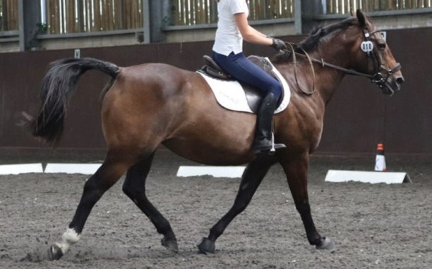 """Ridden horses tin present a serial of behaviours which signal discomfort Pain nether saddle: Horses bring a """"voice"""" if nosotros alone pick out to listen"""