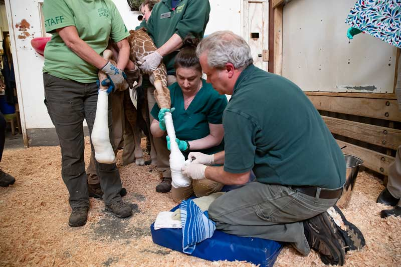 The animal health team carefully casts the newborn's rear legs, led by Dr Tim Storms, at right.