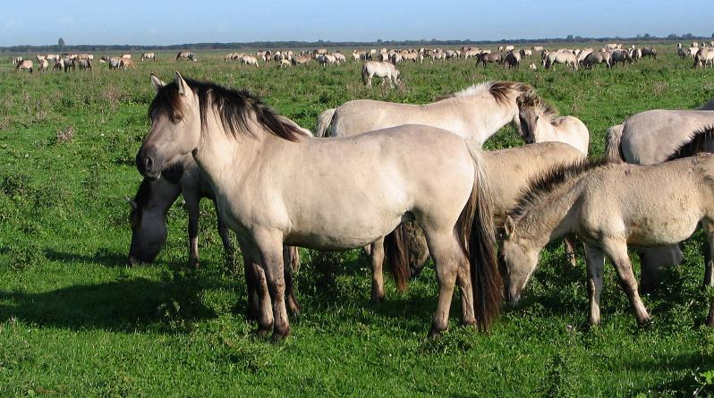 ranging Konik horses inwards a nature reserve inwards the Netherlands Grazing Polish ponies assist wood diversity, researchers find