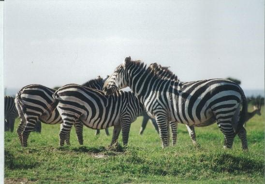 Wild Grant's zebras in Laikipia District, Kenya.