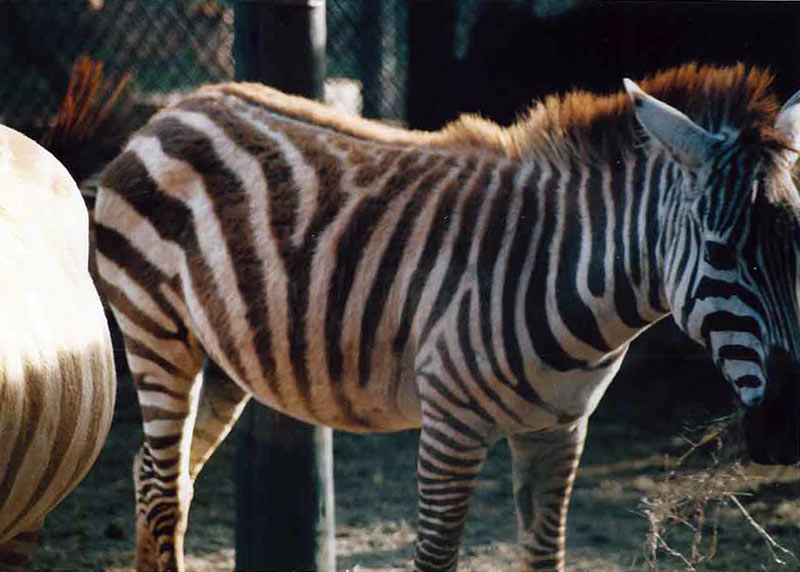 Zebras have the ability to raise the hair on their black stripes.