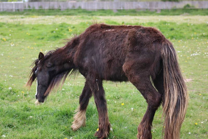 When found, Colin was skinny and frail, covered in lice and riddled with tapeworms. He is the first cob to be rescued by the Cob Care Equine Therapy centre.