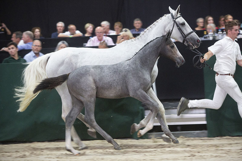 Jumping bred foal Tavi Z (Tobago Z x Chellano Z) fetched €35,000 on the first day of the Borculo Elite Foal Auction in The Netherlands.