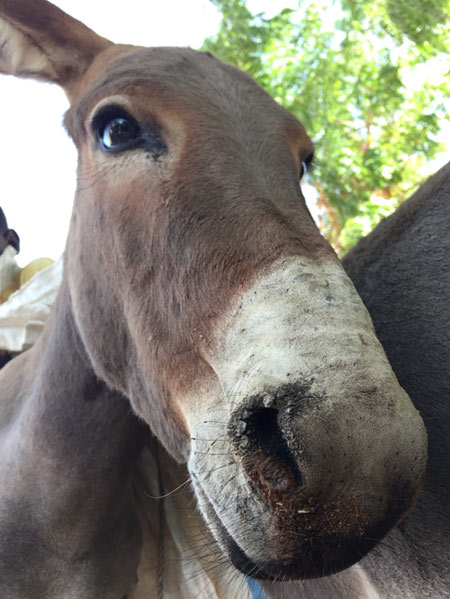 A donkey in Mali affected by equine influenza.