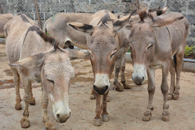 Donkeys who have been caught up in the skin trade await their fate.