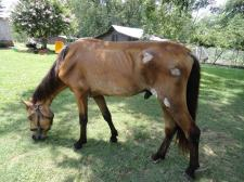 Star-Buck up and grazing on his own, seven weeks after rescue.