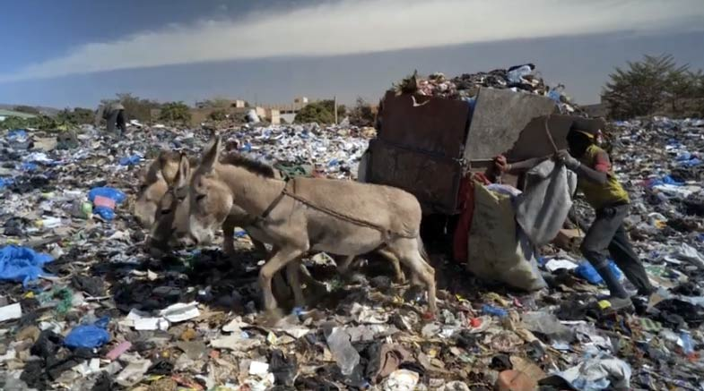 A team of donkeys working hard in a rubbish dump.