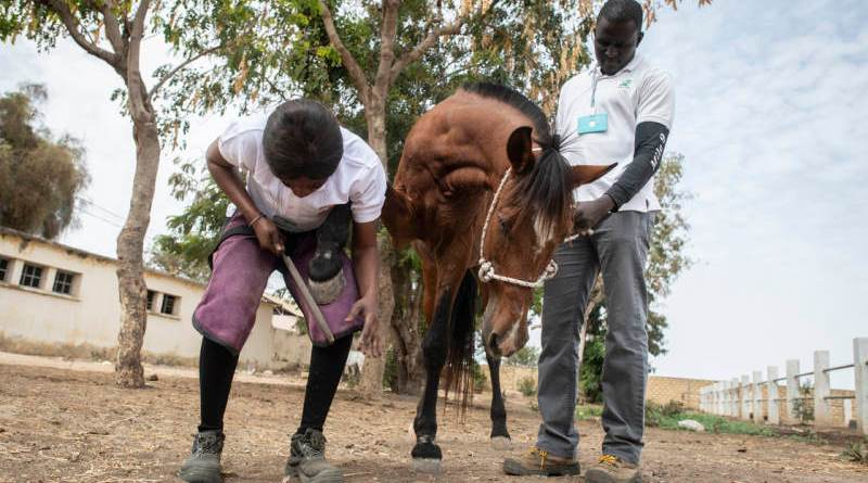 Senegalese farrier Fatou Toure at work.