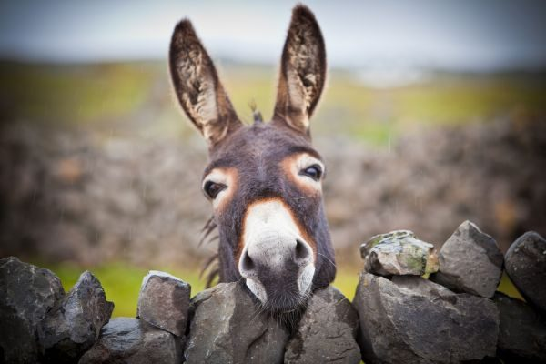 Donkeys are definitely summer lovers, according to researchers.