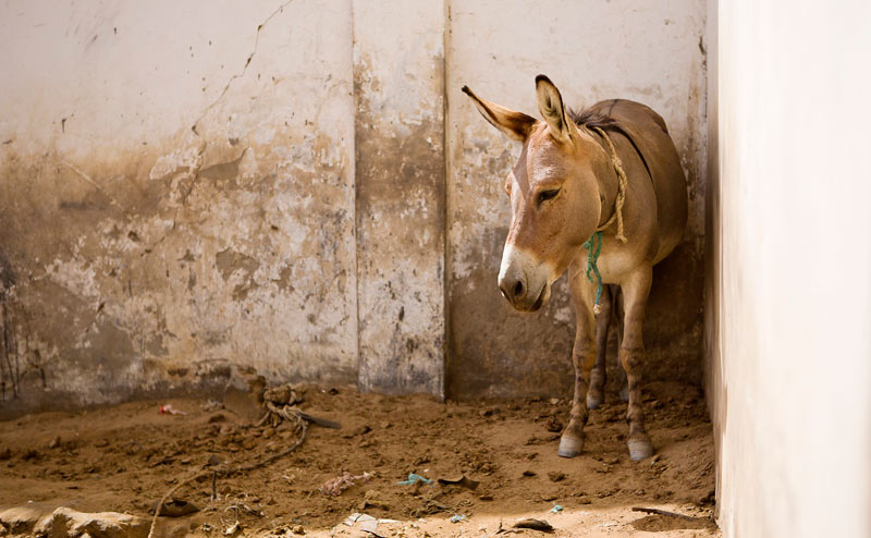 Spana has called for countries neighbouring Kenya to follow suit and outlaw the donkey skin trade.