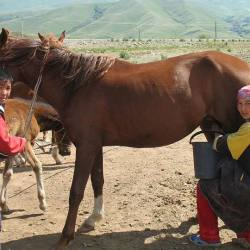 A mare being milked in the Suusamyr Valley, Kyrgyzstan. © Firespeaker / CC BY-SA (https://creativecommons.org/licenses/by-sa/3.0) via Wikipedia