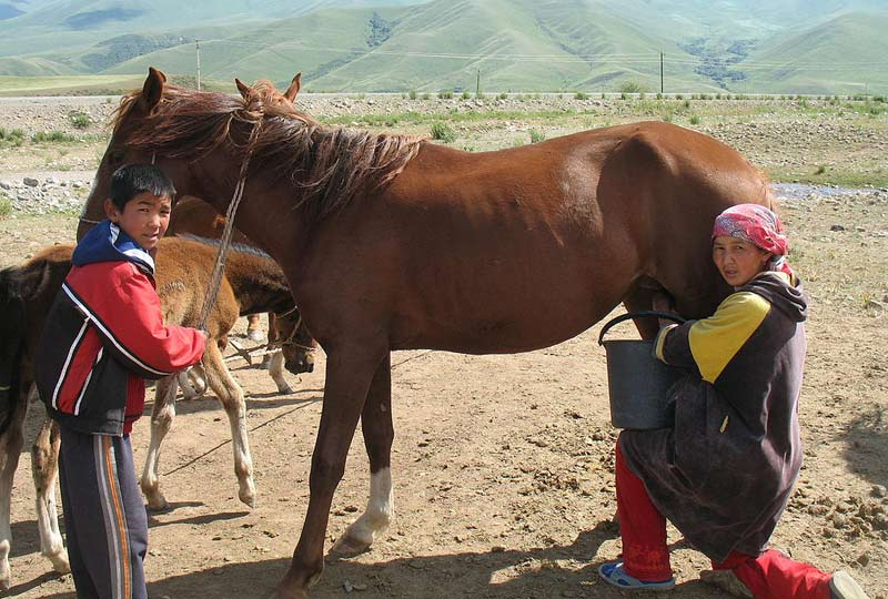 A mare being milked in the Suusamyr Valley, Kyrgyzstan.