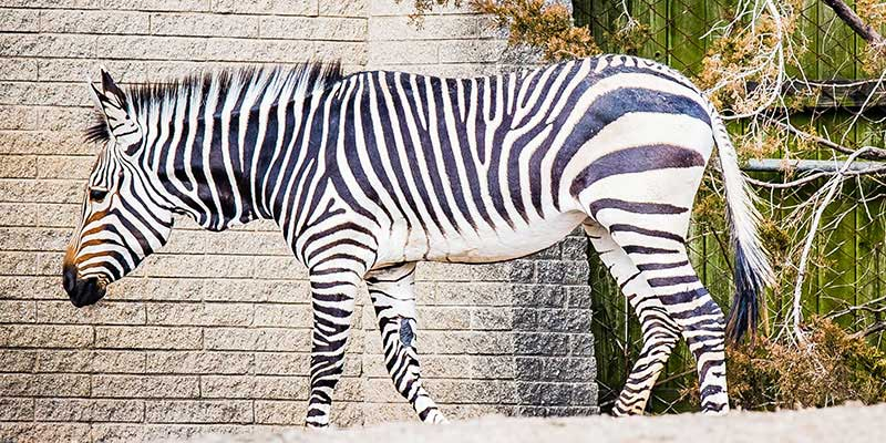 Hartmann's mountain zebra filly Athena has arrived at Louisville Zoo from Virginia.