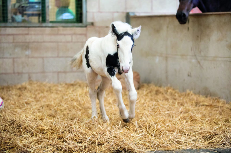 Staff at World Horse Welfare were surprised to find Buttercup had given birth to a filly foal, Frieda, just days after she was rescued.