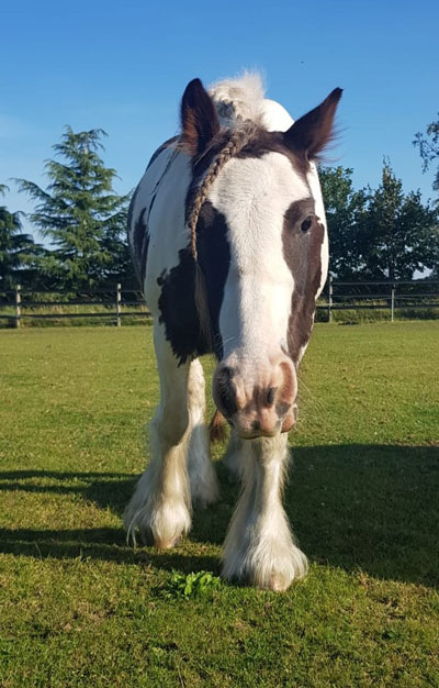 Six-year-old cob mare Patsy is a sweet and gentle mare rescued in 2018.