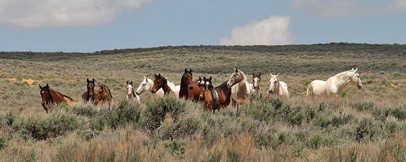 Horses in the Sand Wash Basin Wild Horse Herd Management Area in northwestern Colorado.