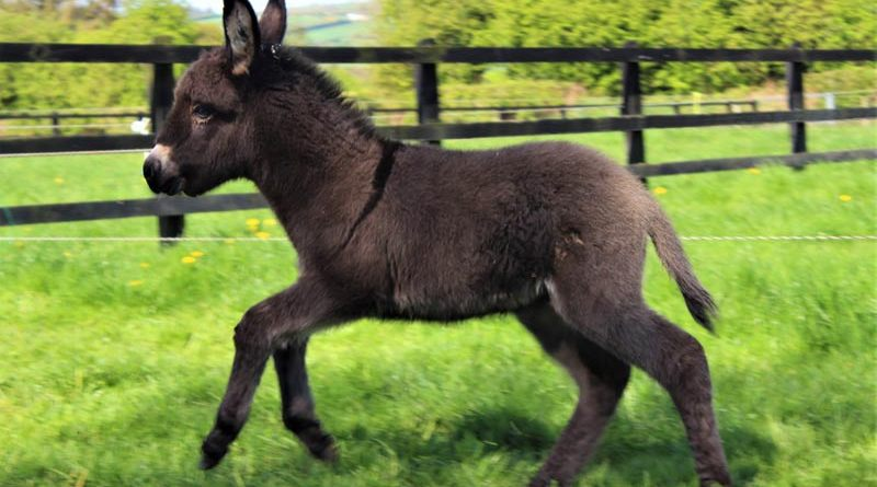 Lockie is thriving and full of beans. He was born on Easter Monday at The Donkey Sanctuary Ireland's Hannigans Farm in Liscarroll.