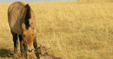 Good news for the Przewalski's horse on the long road to freedom