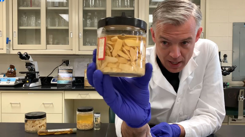 Dr Martin Nielsen with adult tapeworms Anoplocephala perfoliata. The sample came from one horse, who was completely healthy, Nielsen says.