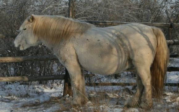 The Yansky type of Yakutian horse.