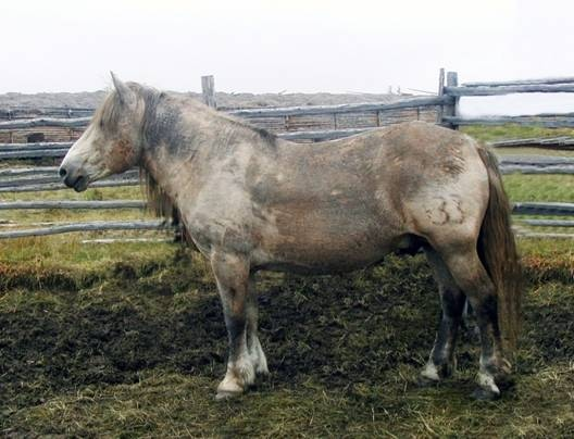 The Kolyma type of Yakutian horse. Photo: A.N. Ilyin